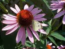 Narrow-leaf Coneflower