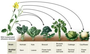 Broccoli, and various species, have evolved from wild mustard plant.